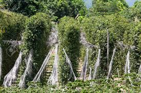 Plantation-poivre-noir-kampot-cambodge